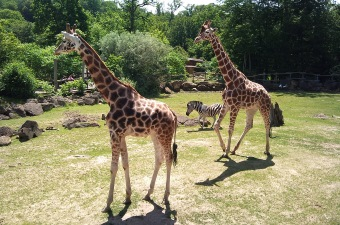 Image of giraffes walking on the grass showing one of the most fun attractions in NJ